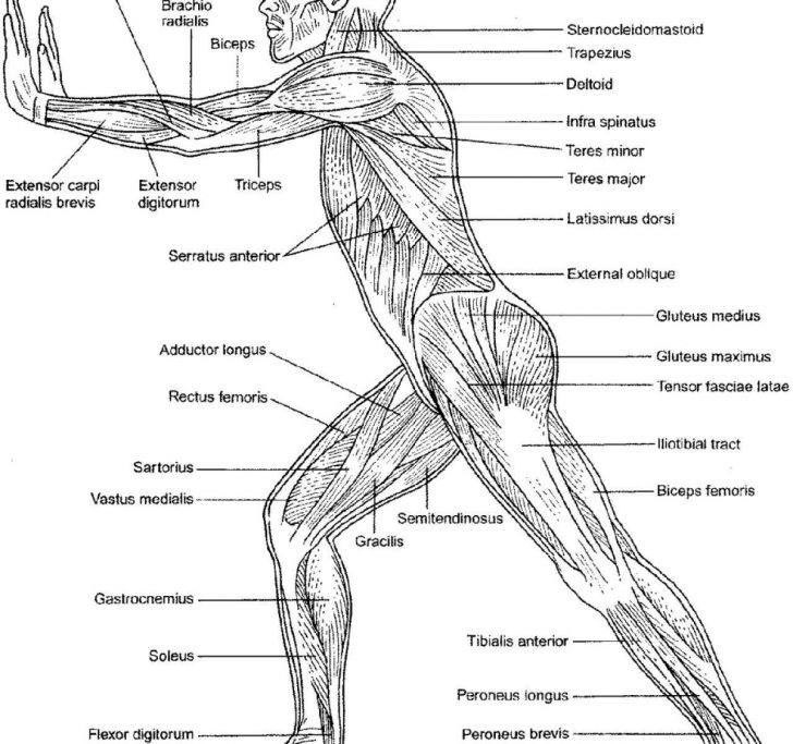 Anatomy Coloring Pages Anatomy And Physiology Coloring Workbookles Of The Trunkle Book Free