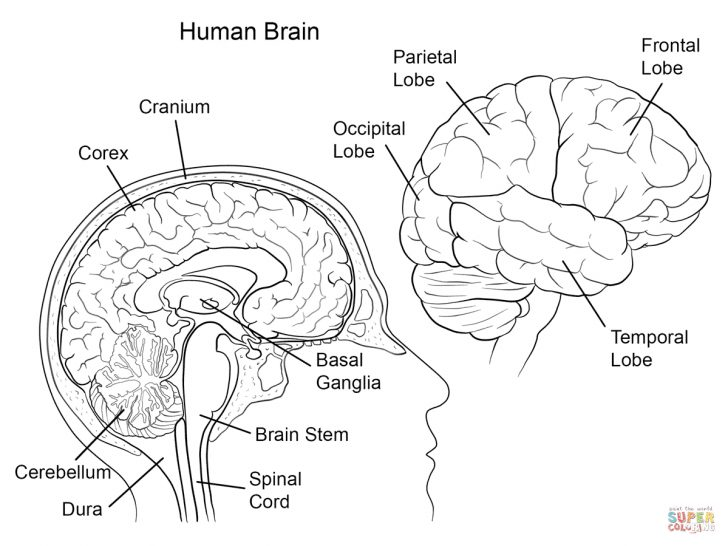 Anatomy Coloring Pages Coloring Pages Human Brain Anatomy Coloring Page Coloring Home 59207