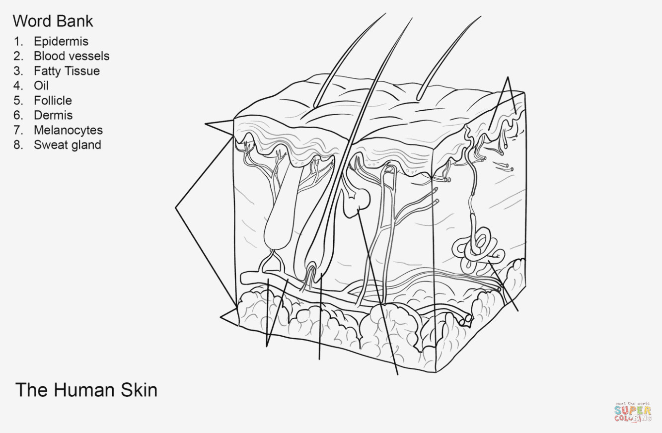 Anatomy Coloring Pages Fresh Skin Anatomy Coloring Pages Xpire