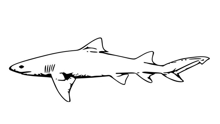 Coloring Pages Sharks Free Printable Shark Coloring Pages For Kids