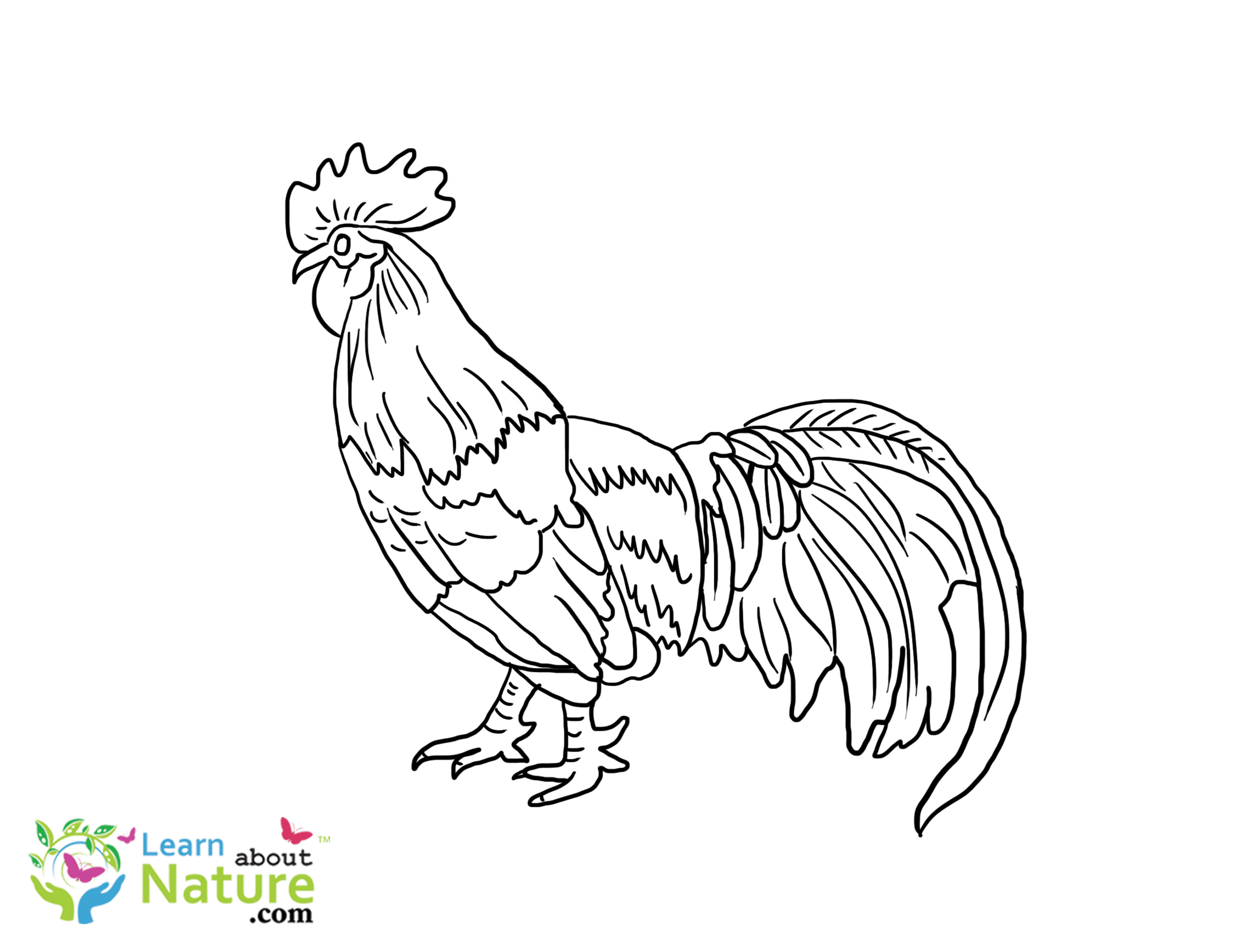 Rooster Coloring Page Rooster Coloring Page 1 Learn About Nature