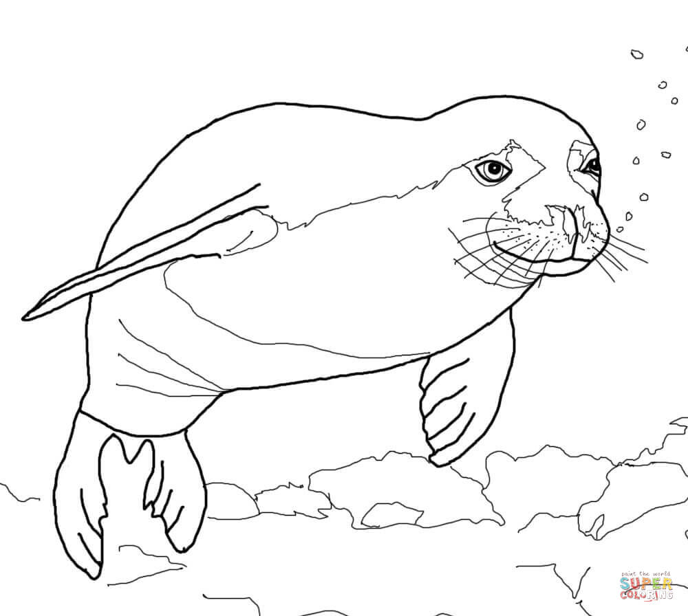 Exclusive Picture of Seal Coloring Pages